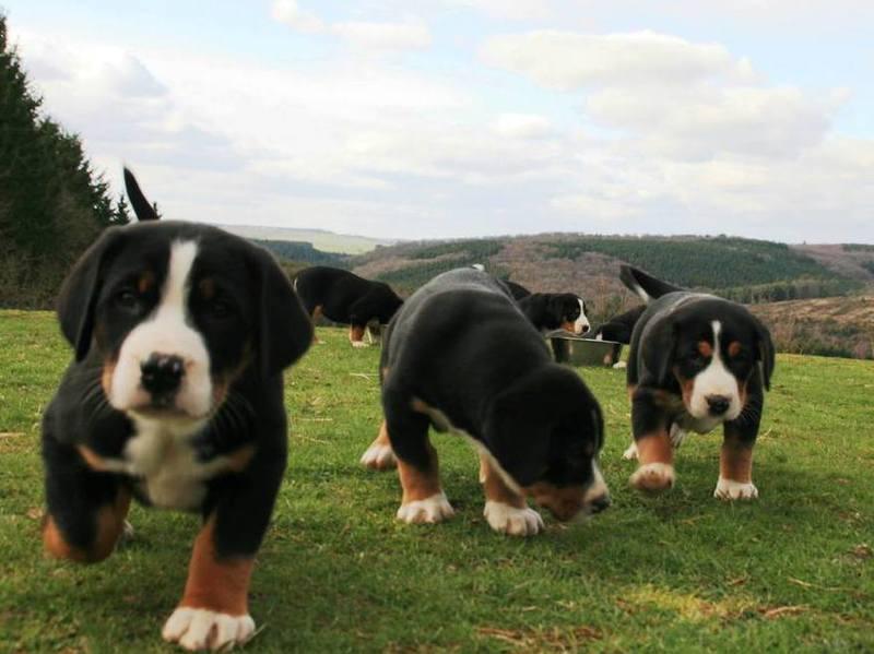 onze grote zwitserse sennenhond-pups worden in huis geboren en